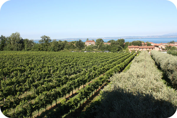 Vineyard of Terre di Maria Pia - Cantina24.