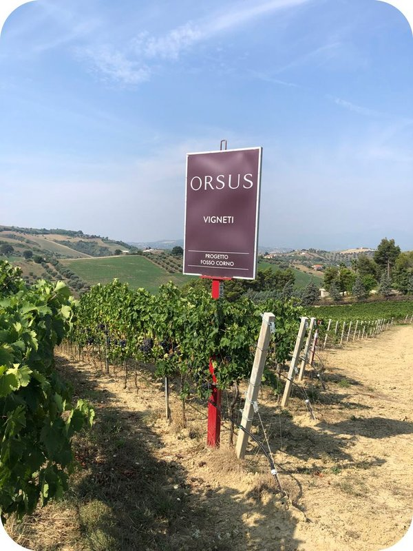 Vineyard for the Orsus project - Cantina24