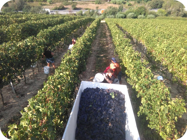 Harvest in the vineyard of Fosso Corno - Cantina24.