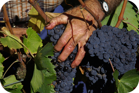 Wine harvest at Franco Pacenti.